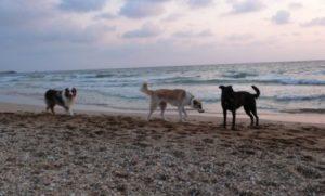 אילוף כלבים גבעתיים