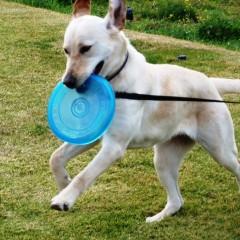 משחק פריזבי עם הכלב